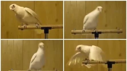 Parte la musica e guardate come inizia a ballare questo pappagallo