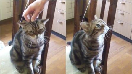 Il gatto che ame le coccole: appena il suo padrone smette, guardate cosa fa