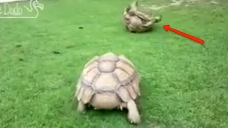 """La tartaruga in difficoltà resta girata sul guscio: guardate cosa fa la sua """"amica"""""""