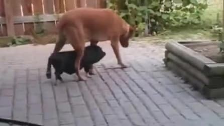 Il maialino che crede di essere l'ombra del cane