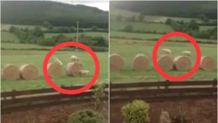 Ecco come si divertono le pecore irlandesi: fantastiche!
