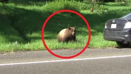 Riprendono un orso dall'altro lato della strada. Mai avrebbero immaginato quello che stava per accadere