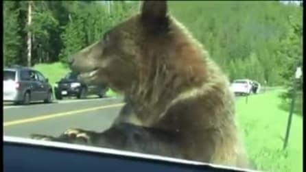 L'orso si avvicina alla loro auto: la famiglia è rinchiusa dentro