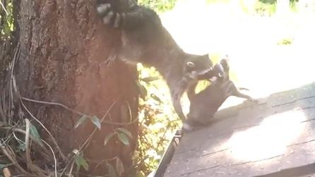Mamma procione afferra il piccolo per la testa: ecco cosa gli insegna