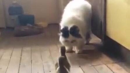 Gli anatroccoli si avvicinano al gatto: guardate lui come reagisce