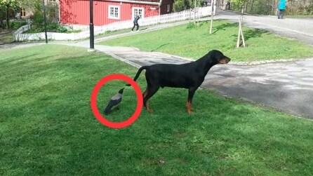 Il corvo si avvicina quatto quatto al cane e guardate cosa gli fa