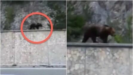 Roccaraso, un orso passeggia tranquillo a lato della strada