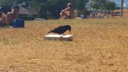 Il corvo che impazzisce per la pizza: si avvicina al cartone e guardate cosa fa