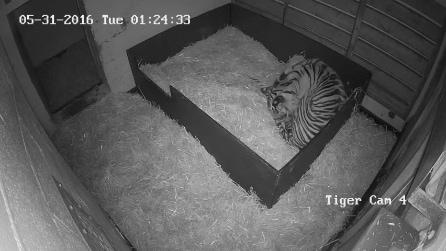 Instalam uma câmera na gaiola do tigre: veja o que eles descobrem
