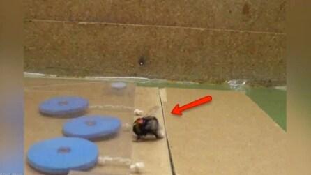Il calabrone esegue un test di intelligenza: l'esperimento è sbalorditivo