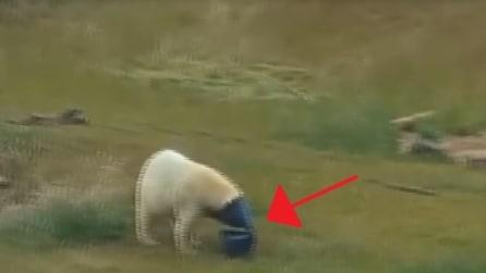 Ecco qual è il giocattolo preferito dell'orso polare