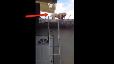 Il cane sul tetto decide di scendere, guardate come lo fa