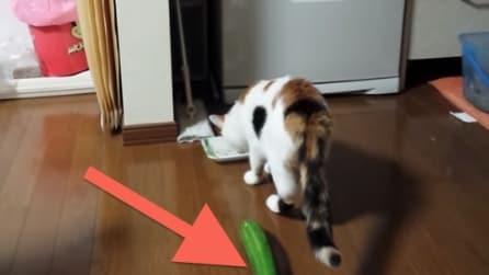 Il gatto sta mangiando tranquillo ma attenzione al cetriolo dietro di lui