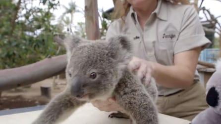 Ecco come viene pesato il koala di soli 9 mesi: le tenere immagini