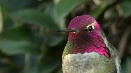 Sembra un normale colibrì ma guardate cosa succede appena muove la testa