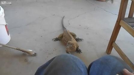 Il padrone lo chiama e l'iguana si comporta proprio come un cane