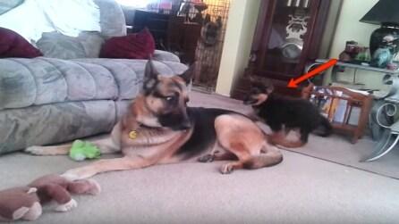 Il cucciolo di pastore tedesco vuole giocare: guardate la reazione del padre