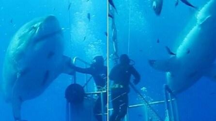 Il più grande squalo bianco mai visto prima d'ora: il sub si avvicina e lo accarezza