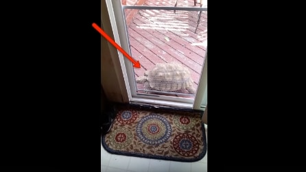 La tartaruga vuole in tutti i modi entrare in casa e guardate cosa si inventa