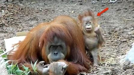 Il piccolo di orango insieme alla madre: le facce che fa sono uno spasso