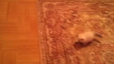 È impaurito dal tappeto: osserva come reagisce questo simpatico gattino