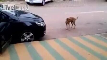 Il cane si ferma in strada, sente la musica e guardate che fa