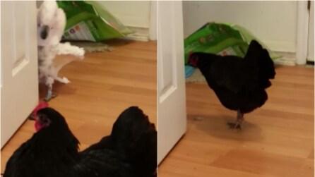 Il pappagallo si nasconde dietro la porta, il pollo lo va a cercare e la sua reazione è fantastica