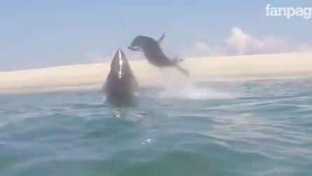 Il grande squalo bianco a caccia: la foca riesce a sfuggire all'attacco