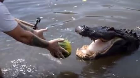Lancia un'anguria al coccodrillo, l'effetto è devastante
