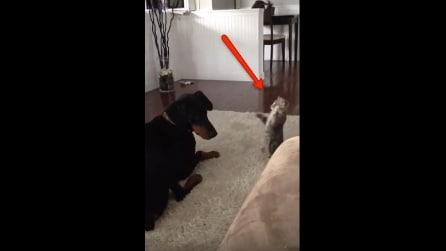 Il gatto vuole giocare a tutti i costi con il suo amico, ma guardate la reazione del cane