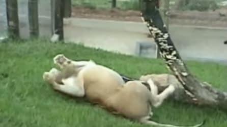 Il leone liberato dopo 13 anni in gabbia, calpesta l'erba per la prima volta