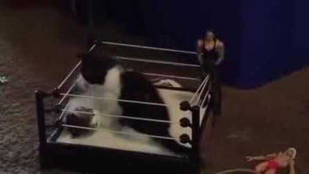 Micio al tappeto: il wrestling più tenero che abbiate mai visto