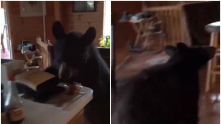 Entra in casa e trova un orso nella sua cucina: guardate come reagisce