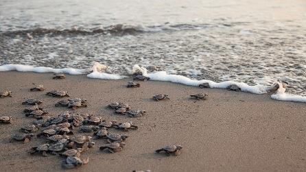 La corsa verso il mare delle piccole tartarughe verdi appena nate