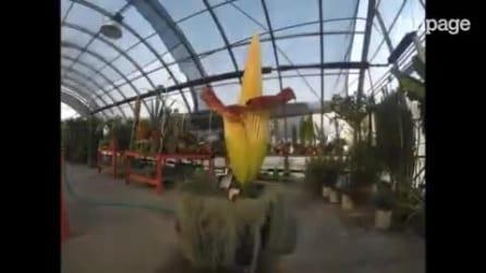 Depois de 13 anos a flor gigante desabrocha: um espetáculo maravilhoso