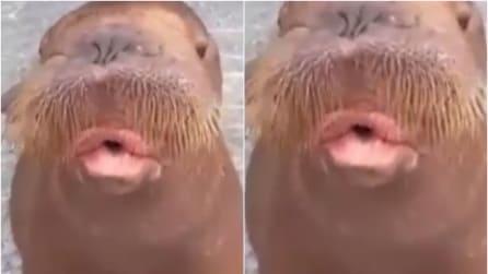 Lo strano verso del leone marino: risate assicurate!