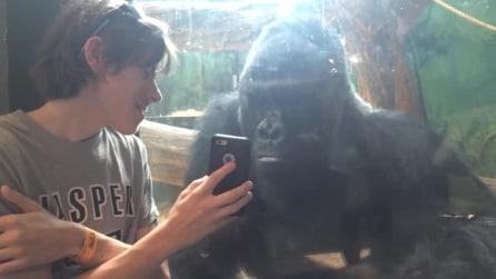 Fa vedere una foto al gorilla: non ti aspetterai mai cosa fa l'animale