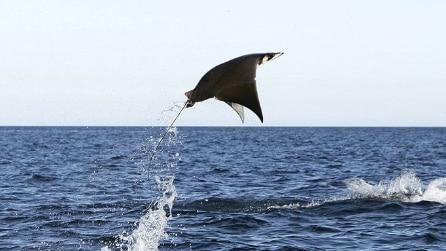 """La manta gigante , salta fuori dall'acqua e """"spicca il volo"""""""