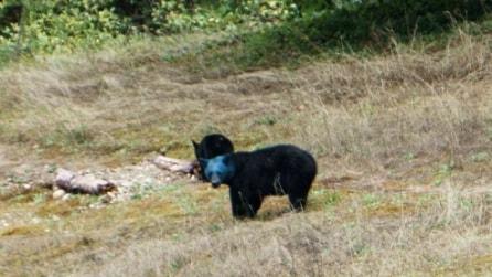 Come mai quest'orso ha la testa blu?