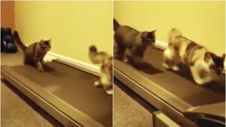 I gatti corrono sul tapis roulant: guardateli quando arrivano alla velocità massima