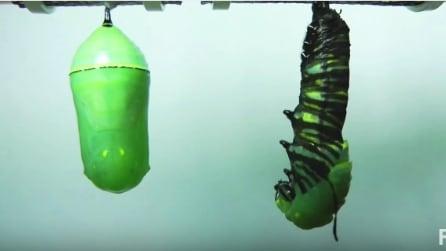 La meravigliosa metamorfosi da bruco a farfalla