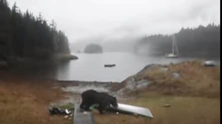 Urla con tutte le sue forze per fermarlo ma l'orso mangia la sua canoa