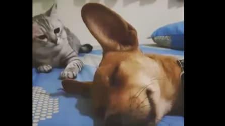 Sta dormendo beato: d'improvviso guardate cosa fa il gattino
