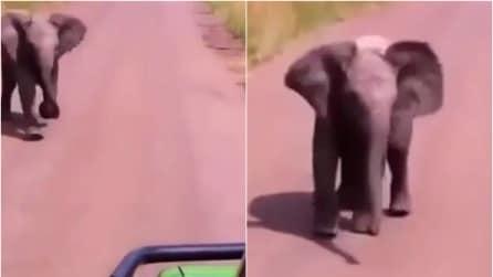 L'elefantino vuole spaventare i turisti ma quello che fa subito dopo è tenerissimo