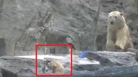 Il piccolo orsetto cade nell'acqua, la reazione di mamma orsa è immediata