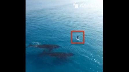 Due gigantesche megattere si avvicinano al surfer: le immagini dal drone