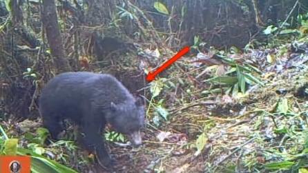 """Perù, ricercatori filmano sulle Ande un rarissimo orso """"dagli occhiali"""""""