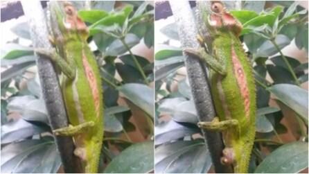 Come nasce un camaleonte: lo spettacolo della natura