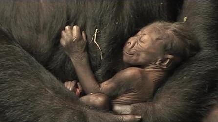La tenerezza della mamma con il piccolo gorilla appena nato: le emozionanti immagini