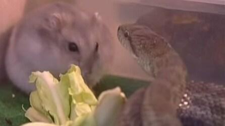 Il serpente si avvicina al criceto: quello che succede è fuori dal comune